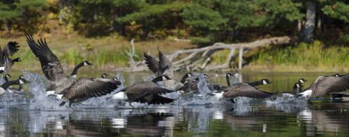 A flock of geese landing onto a lake