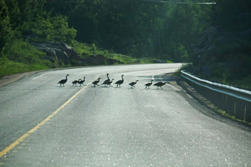 A family of ducks crossing the road
