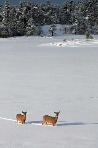 Two deer in a deep snowy clearing