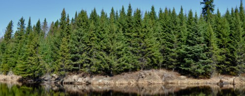 A photo of the forest alongside the Abitibi river in Iroquois Falls
