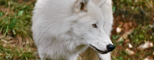 Stunning white wolf with yellow eyes looking to theside