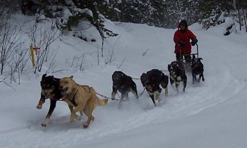 Man dog sledding through a snow covered trail