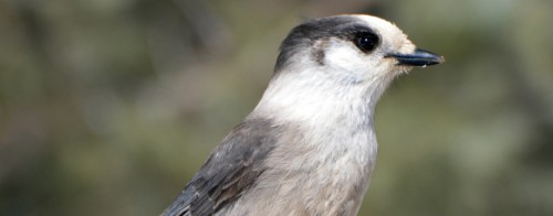 A small, grey and white bird